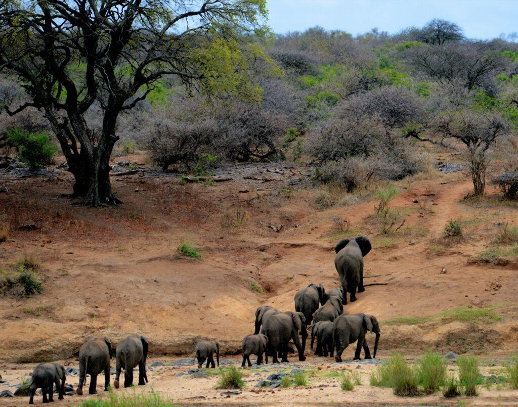 African Safari - Elephants